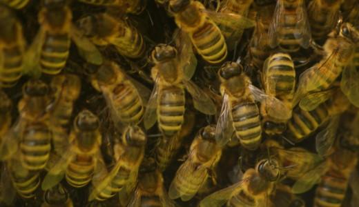 De Kruidhof 19juni2015 bijen en hommels (2)